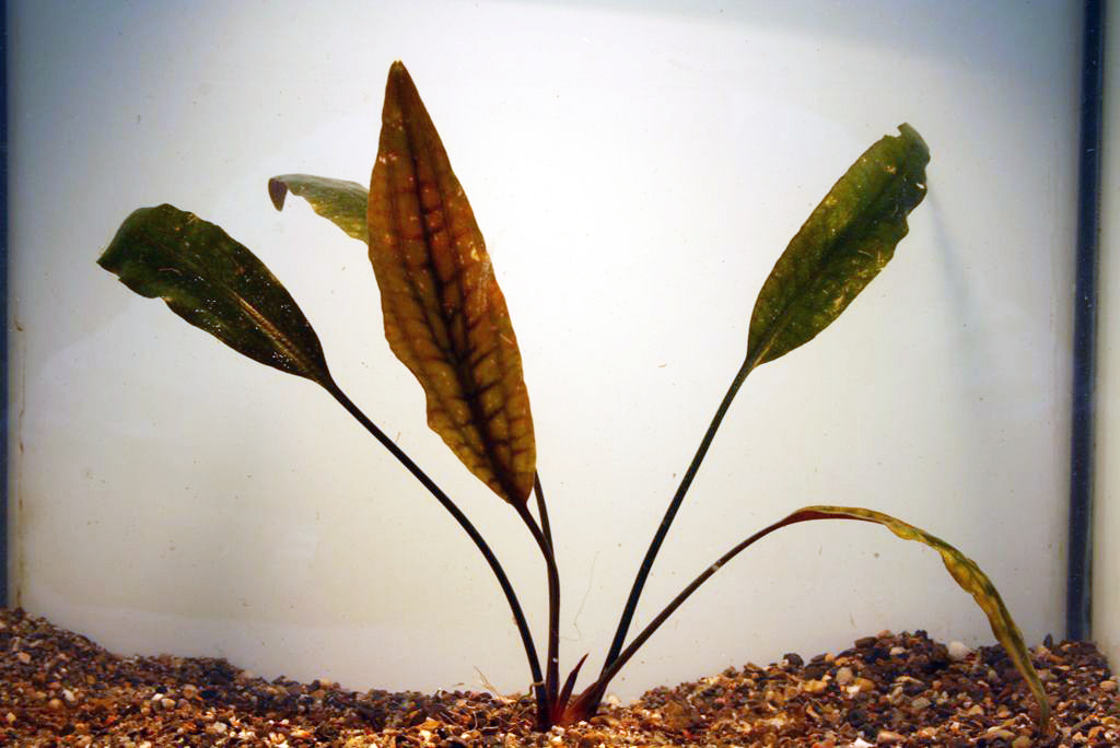 Cryptocoryne rosan. ohne rote Nerven